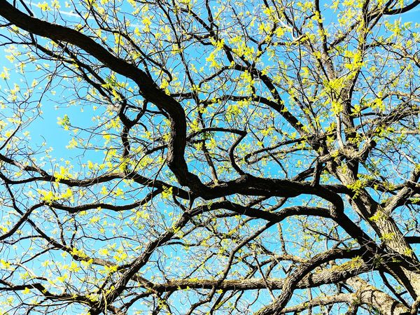 Tree Branch Backgrounds Flower Full Frame Pattern Textured  Clear Sky Sky Close-up Upward View Twig Blue Color Plant Life Blossom In Bloom Yellow Color