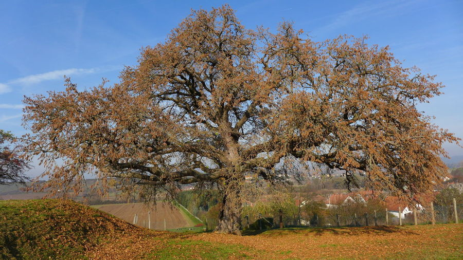 No People, Nature, Outdoor, Tree, Turkish Hazel, Turkish Filbert, Corylus Colurna, Francis II. Rákóczi in Romhány, Hungary
