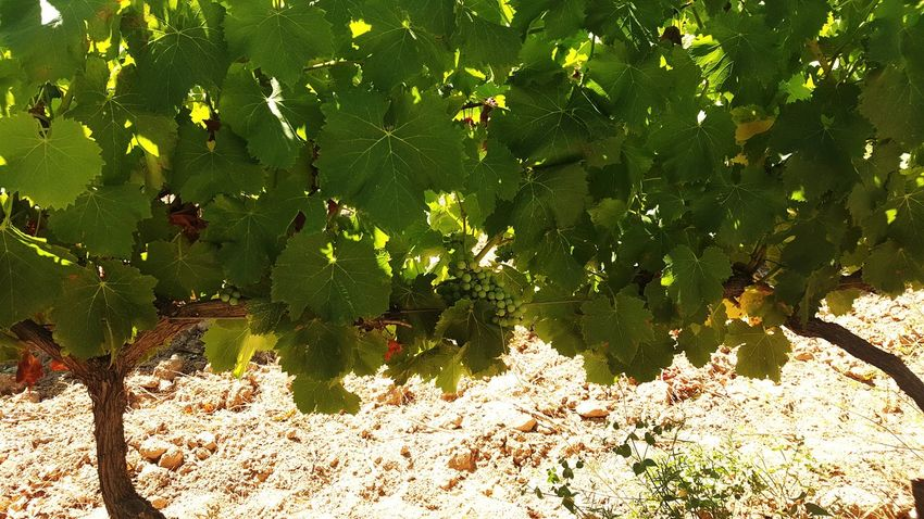 Nature Outdoors Growth Green Color No People Day Sunlight Plant Beauty In Nature Close-up Vineyard Grapes Grapes On The Vine French Wine Provence Wine Tasting Wine Production Grenache