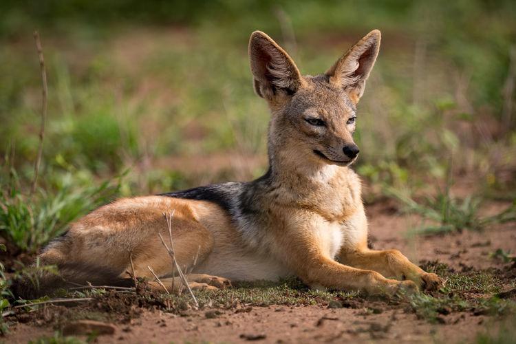 Black-backed jackal on grassy field