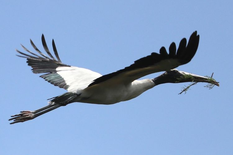 Wood Stork Bird Animals In The Wild Spread Wings Animal Themes Flying Animal Wildlife One Animal Low Angle View Clear Sky No People Mid-air Nature Day Outdoors Sky Beauty In Nature The Great Outdoors - 2017 EyeEm Awards