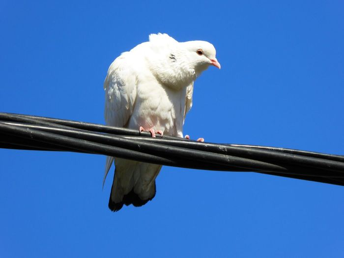 Low angle view of dove perching on cable against clear blue sky