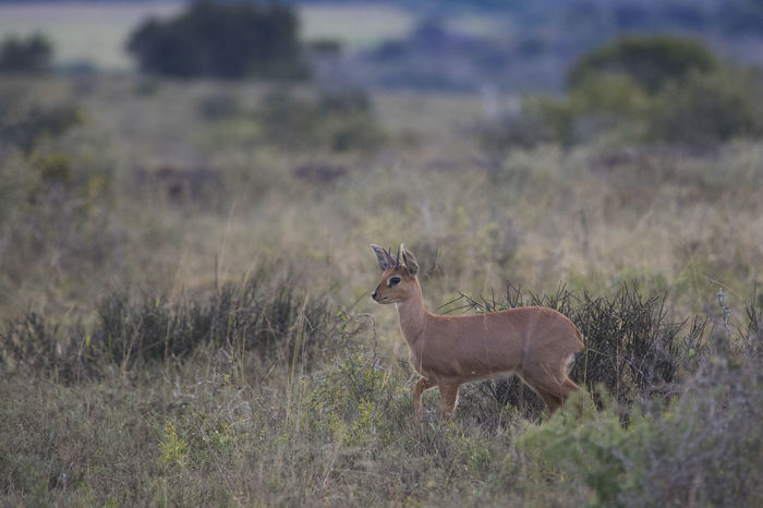 Skittish Steenbok hopping away through the bush Animals Beauty In Nature Canon Cute Grass Green Ibex Nature Nature Photography Nature_collection Naturelovers Relaxing South Africa Steenbok Tranquil Scene Tranquility Wildlife Wildlife Photography