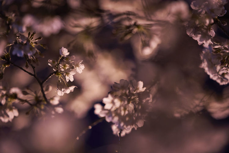 Bokehlicious Cherry Cherry Blossom Cherry Blossoms Night Lights Night Photography Nightphotography Beauty In Nature Bokeh Bokeh Lights Bokeh Photography Cherry Tree Cherryblossom Close-up Flower Flower Head Fragility Freshness Growth Nature Night Night View Nightshot No People Outdoors