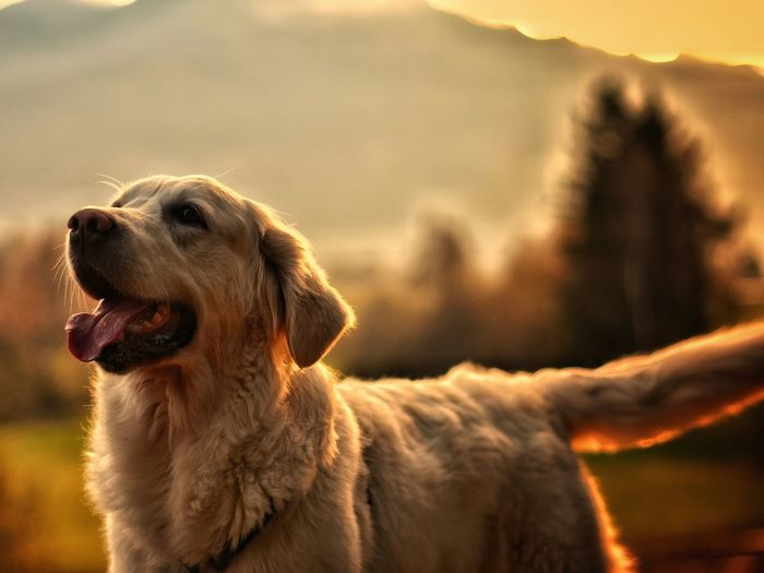 Scenic View Of Golden Retriever Against Blurred Landscape