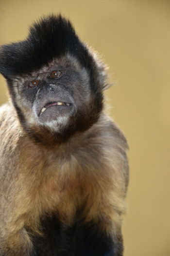 Close-Up Of Monkey Against Beige Background