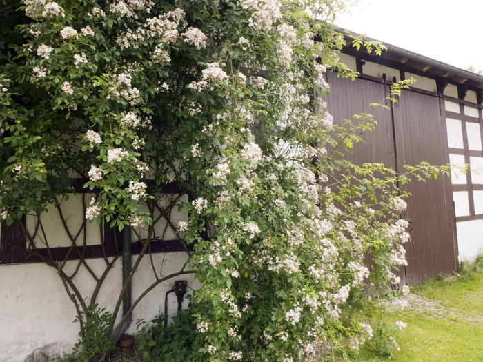 Blooming Blooming Flower Building Exterior Built Structure Bush Day Flower Garden Flowers Garden Photography Growth Housewall Nature No People Outdoors Plant Rose - Flower Roses Wall White