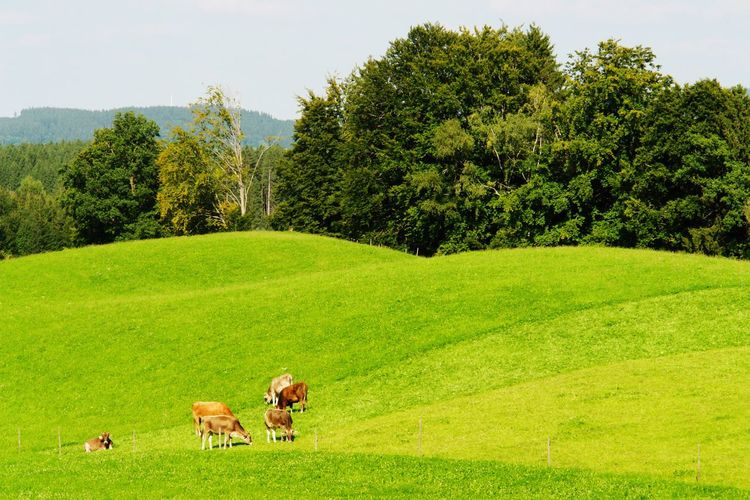 Cows grazing on hill against trees at isny im allgau