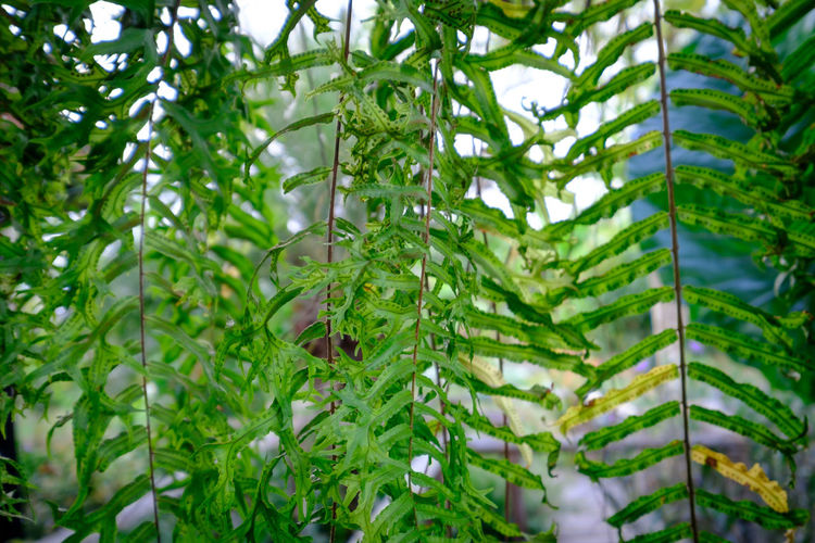 Bamboo - Plant Beauty In Nature Branch Close-up Coniferous Tree Day Focus On Foreground Freshness Green Color Growth Leaf Nature No People Outdoors Plant Plant Part Rexaling Selective Focus Tranquility Tree Water Wet