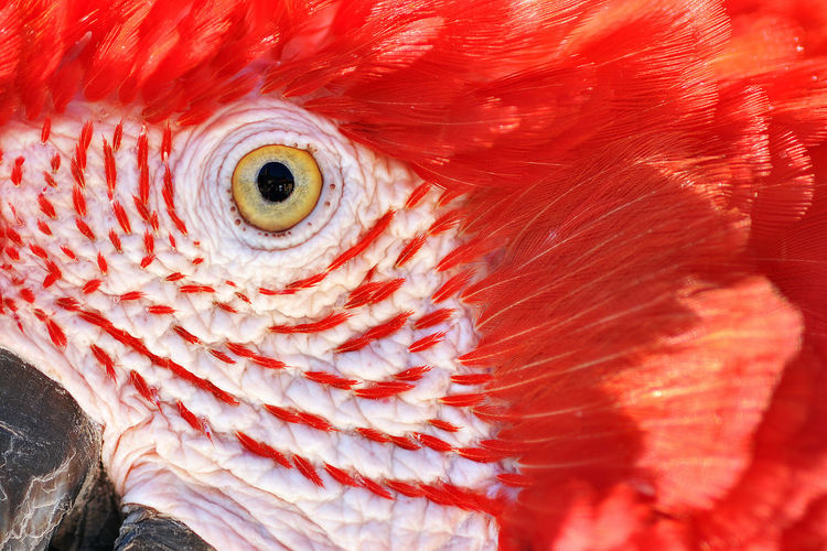 Extreme close-up of scarlet macaw