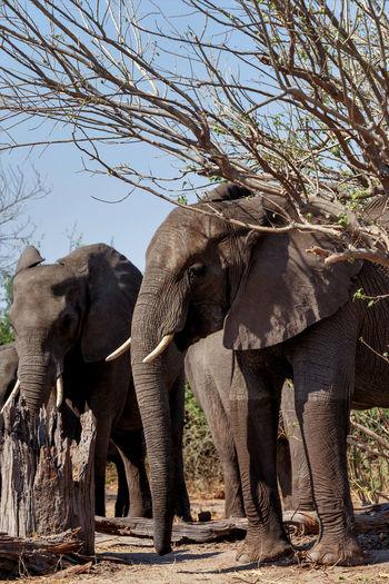 Full length of elephant standing on land