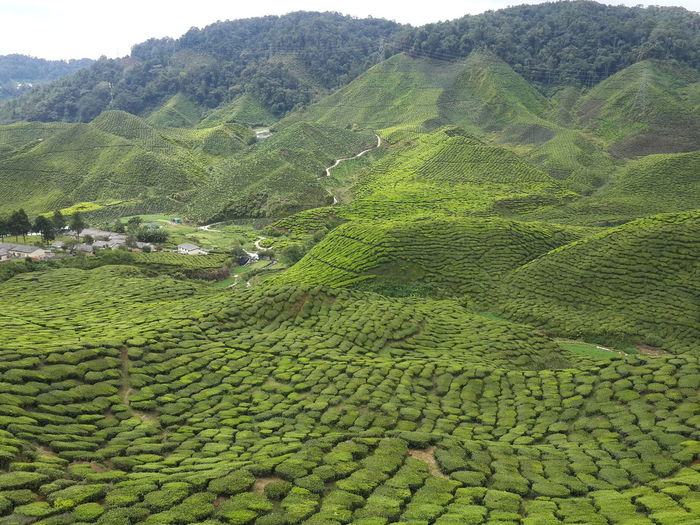Scenics - Nature Green Color Landscape Tranquility Tranquil Scene Growth Agriculture Mountain Beauty In Nature Crop  Environment Tea Crop Rural Scene Plant Plantation Land Foliage Field Lush Foliage Farm No People Outdoors Rolling Landscape Tea Leaves Stay Out