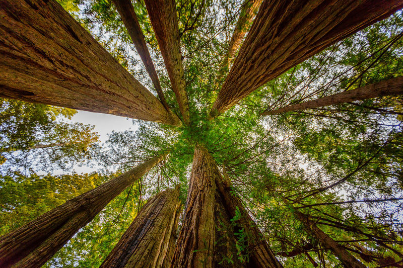 Redwoods Redwood National Park California Daytime Trees Beauty In Nature Lady Bird Johnson Grove Look Up Outdoors