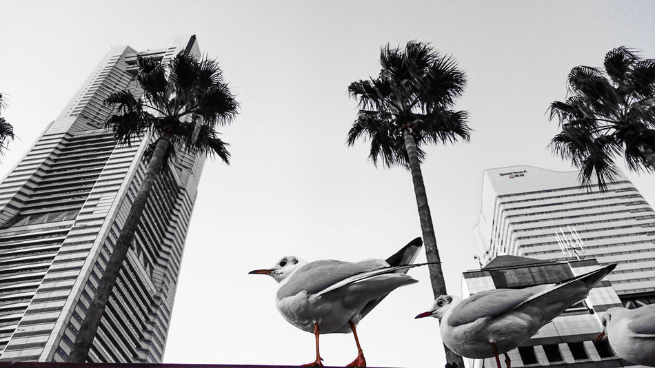 Adapted To The City A Bird's Eye View Colour Of Life Ultimate Japan Cityscapes Here Belongs To Me Bird Photography Animal Themes Looking To The Other Side The Innovator Building Bird Seagull Möwen Palm Trees Monochrome Black And White Urbanity Travel Photography Streetphotography in Minatomirai , Japan | Xperia Z4 Two Is Better Than One Welcome To Black Black And White Friday