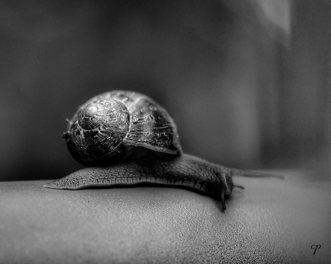 Silver Snail 🐌 Snail One Animal Wildlife Close-up Gastropod Fragility Blackandwhite Black And White Black & White Blackandwhite Photography Black And White Photography Blackandwhitephotography Black&white Black And White Collection  Black And White Friday