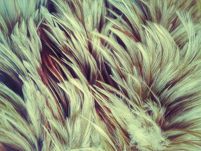 Feather  Feathers Feather Collection Nature Abstract Abstract Photography Abstract Art Nature Art Nature Art Photography Art Photography Imagination Imagination Photography Imagination Collection Close Up Photography Close Up Feather Close Up Feathers Of Chicken Feather Art Feather Color Colorful Feather Colorful Feathers