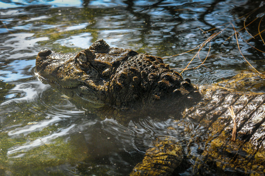 Caiman Yacare Animal Scale Mouth Open Outdoors Communication Swimming Lake Sign Underwater Animal Head  No People Nature Animal Body Part Day Vertebrate Crocodile Animal Reptile One Animal Animal Themes Animal Wildlife Animals In The Wild Water Alligator