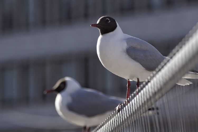 Low Angle View Of Black-Headed Gulls On Railing