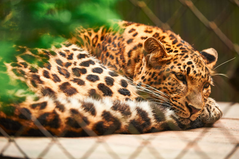 Animal Themes Animal Wildlife Animals In The Wild Close-up Day Leopard Mammal Nature No People One Animal Outdoors Panther Relaxation Zoo Animals  ZOO-PHOTO Zoophotography