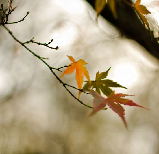 Autumn Beauty In Nature Branch Change Close-up Day Fragility Growth Leaf Maple Maple Leaf Nature No People Orange Color Outdoors Plant Sky Tranquility Tree Twig