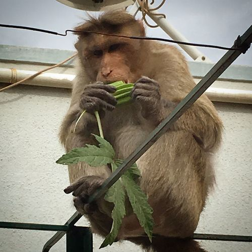Ape Brown Monkey Day Domestic Animals Eating Its Food Enjoying The Okr Feeding Time Again. Fence Freshness Mammal Monkey On My Terrace On The Railing One Animal Railing Young Adult