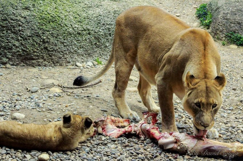 We all love food, also the lions.😋 Animal Themes Outdoors Canonphotography Photography Lion