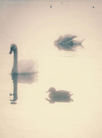 Swans Ducks
