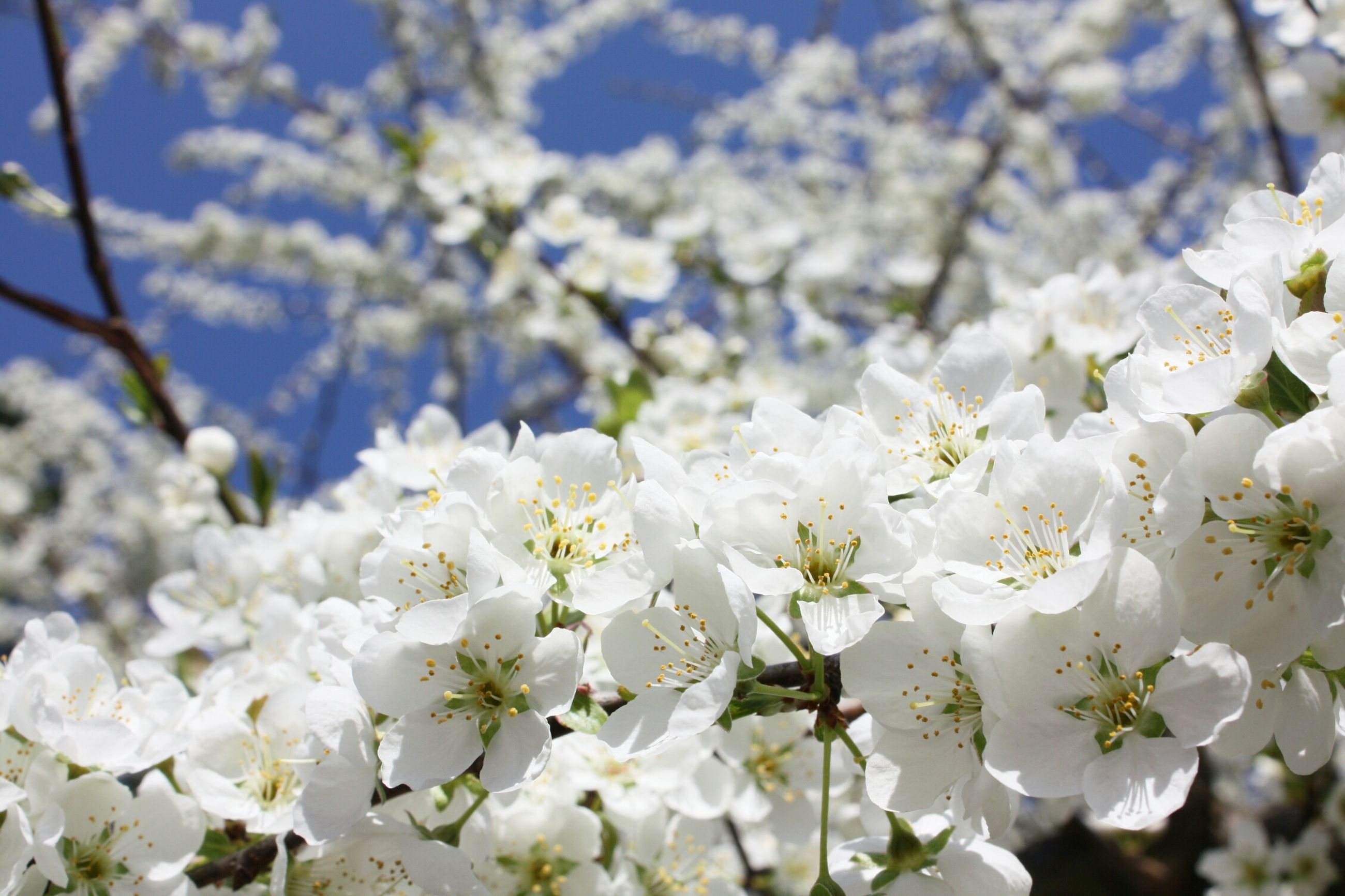 flower, white color, freshness, growth, fragility, beauty in nature, nature, focus on foreground, petal, blossom, white, close-up, tree, cherry blossom, blooming, branch, flower head, in bloom, springtime, outdoors