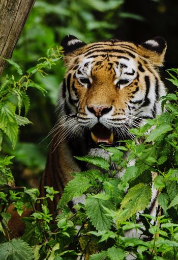 Close-Up Of Tiger Roaring By Plants