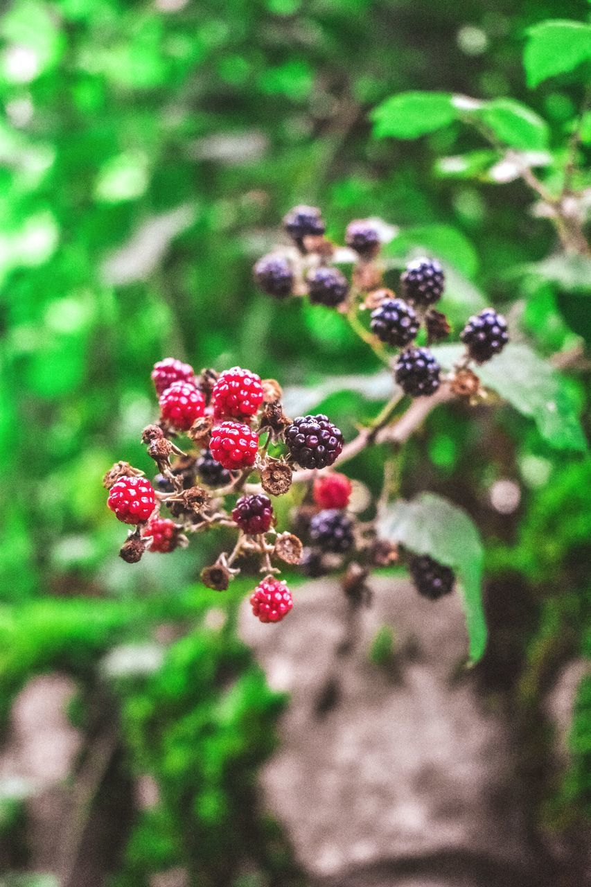 healthy eating, food and drink, freshness, food, fruit, berry fruit, plant, growth, close-up, day, nature, wellbeing, no people, beauty in nature, selective focus, focus on foreground, red, tree, outdoors, plant part, ripe