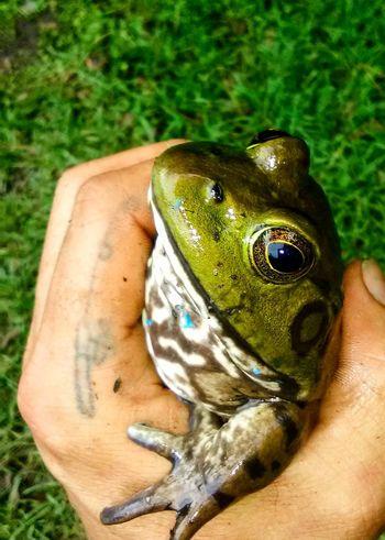 Bullfrog Frog Bullfrog Kermit Creeklife Beauty In Nature Close Up