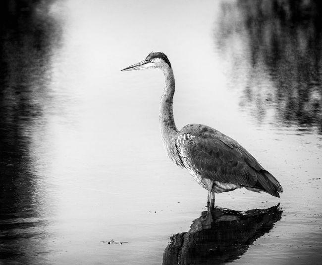 Great Blue Heron Bird Heron Lake Nature Water Wildlife