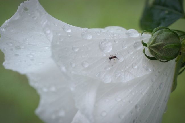 梅雨らしく雨。 Nature Flower White Ant 水滴 雨粒 Raindrops Color Palette