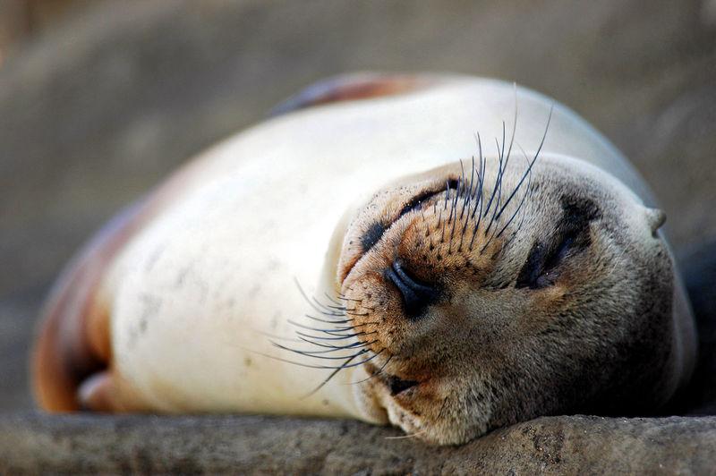 Galapagos sea lion relaxing on rock