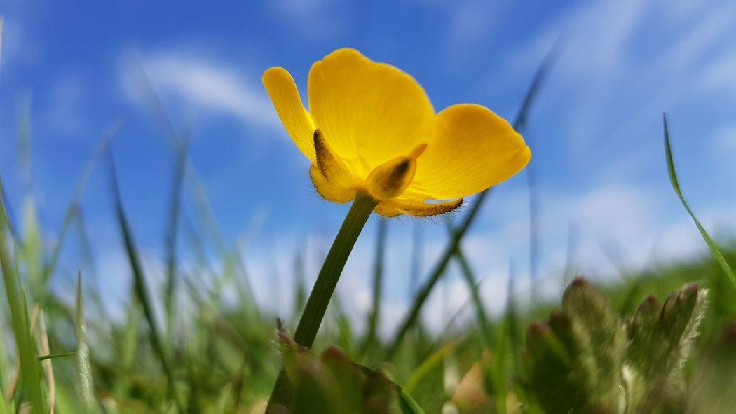 buttercup Buttercup Buttercups Plant Life Flower Head Flower Yellow Springtime Blue Beauty Summer