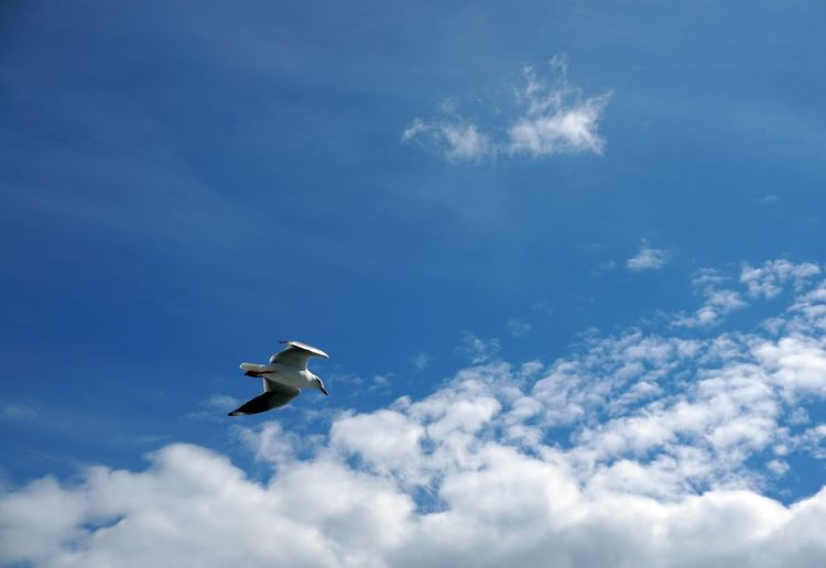 Animal Themes Animals In The Wild Beauty In Nature Bird Cloud - Sky Day Flying Low Angle View Mid-air Nature No People One Animal Outdoors Sky Spread Wings EyeEmNewHere