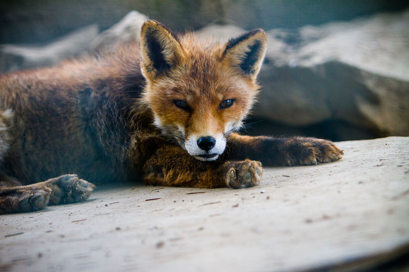 A young red fox looking into the camera Awake Cute Pets Animal Animal Themes Animal Wildlife Animals In The Wild Close-up Cute Day Fox Looking At Camera Lying Down Mammal Nature No People One Animal Outdoors Portrait Red Fox Relaxation Selective Focus Sleepy Surface Level Vertebrate Young Animal