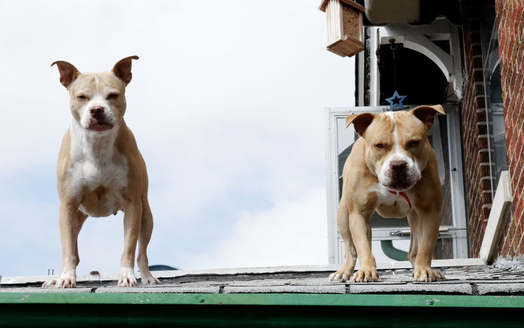 Dogs Rooftop Animal Themes Day Dog Domestic Animals Looking At Camera Mammal One Animal Outdoors Pets Portrait Standing