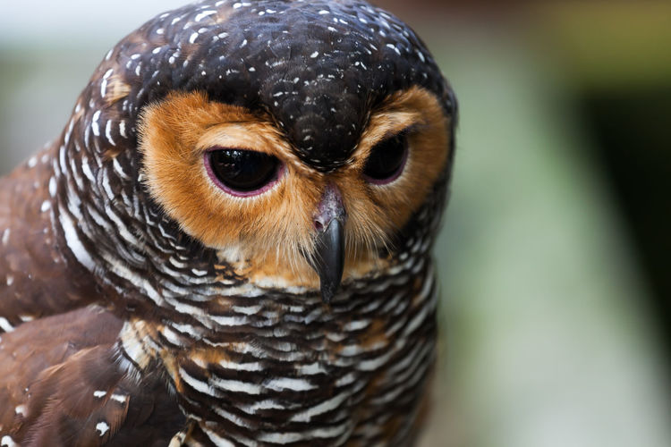 High angle view portrait of owl