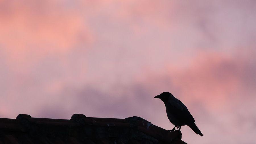 Silhouette einer Nebelkrähe Bird Silhouette Sunset Sky Crow The Creative - 2019 EyeEm Awards