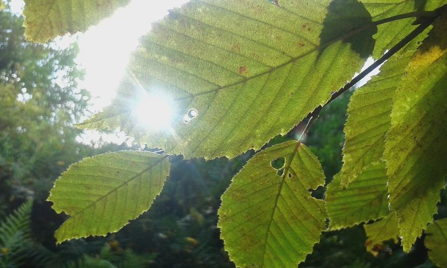 Leaf Nature Green Color Beauty In Nature Growth Day Close-up Freshness Outdoors Sunlight No People Sky Beauty Picture Beauty In Nature Earth 🌏 Is Beautiful Sunlight ☀ Beautiful Tree Fragility Tree Sunlight Tree In The Background Garden Photography Forest Lost In The Landscape EyeEmNewHere