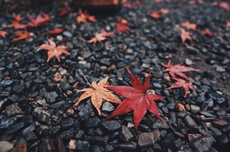 Autumn Leaves Japan Photography Autumn Autumn Collection Autumn🍁🍁🍁 Beauty In Nature Change Close-up Day Dry Field High Angle View Land Leaf Leaves Maple Leaf Natural Condition Nature No People Orange Color Outdoors Plant Plant Part Selective Focus Shape