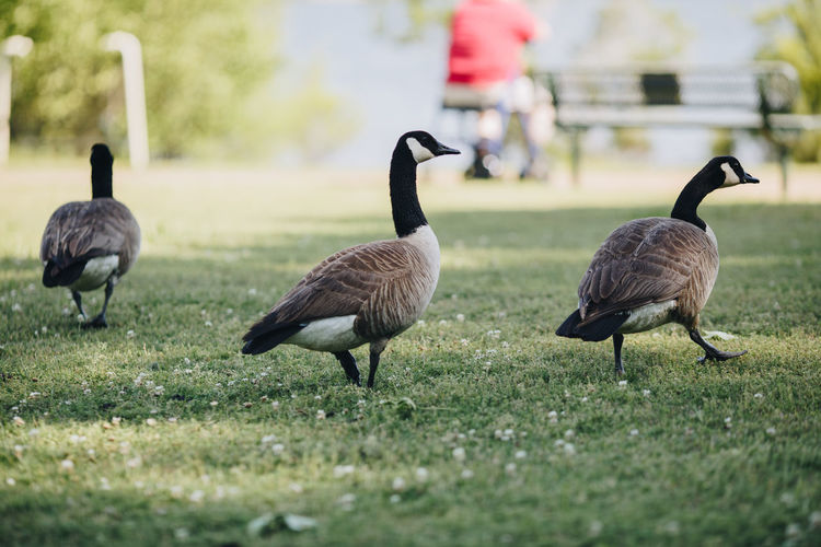Three geese Geese Geese Family Animal Themes Animal Wildlife Animals In The Wild Bird Day Duck Ducks Field Goose Grass Nature No People Outdoors Park Park - Man Made Space Summer Three