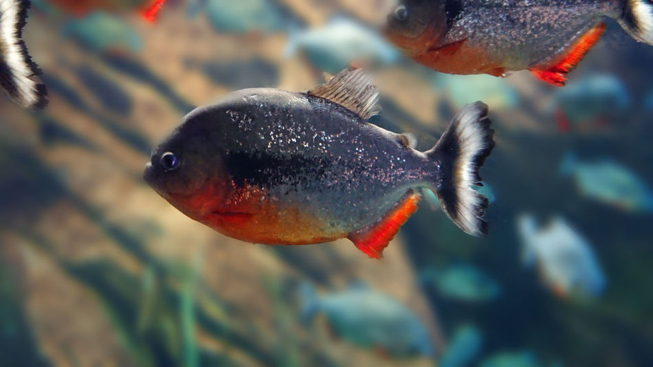 Underwater Sea Life Piranha Georgia Aquarium  Close-up Nofilter Noedit Xperia Xz Premium Backgrounddefocus