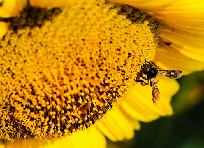 Macro shot of bee pollinating on sunflower