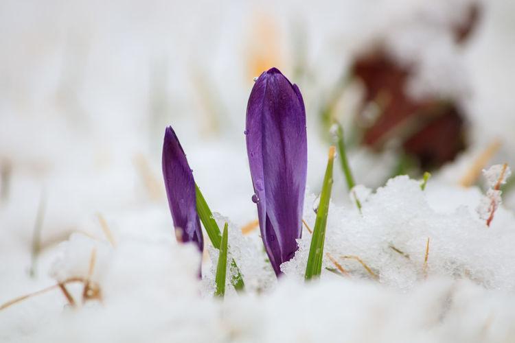 Close-up of purple crocus flowers in snow