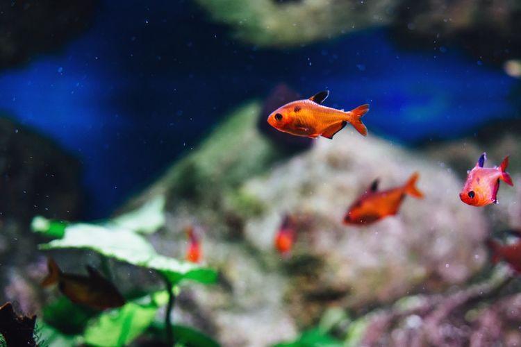 Close-Up Of Fishes Swimming In Tank At Aquarium