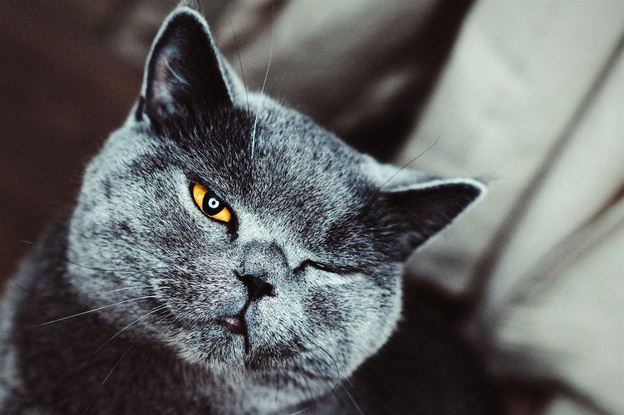 Portrait close-up of chartreux cat winking