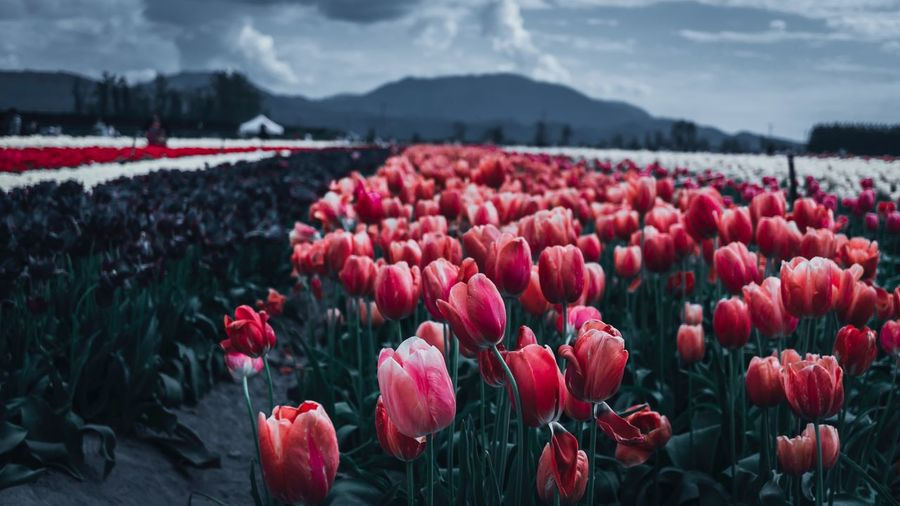 Close-up of red tulips on field against sky