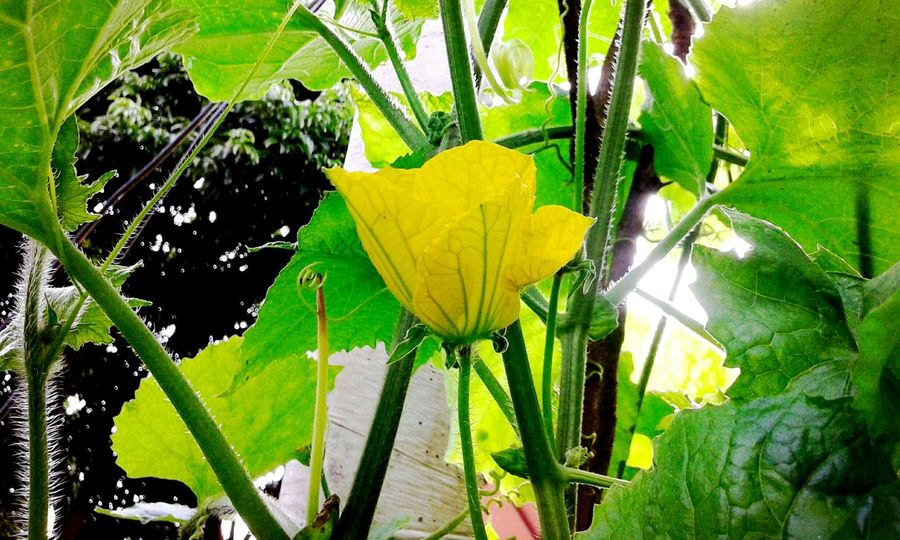 Enjoying Life Check This Out Hello Pictures Of Me :)  Vietnam Bắc Giang Yellow Flower Green Hello World Flowers Hoa bí